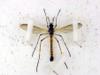 Settipulidae